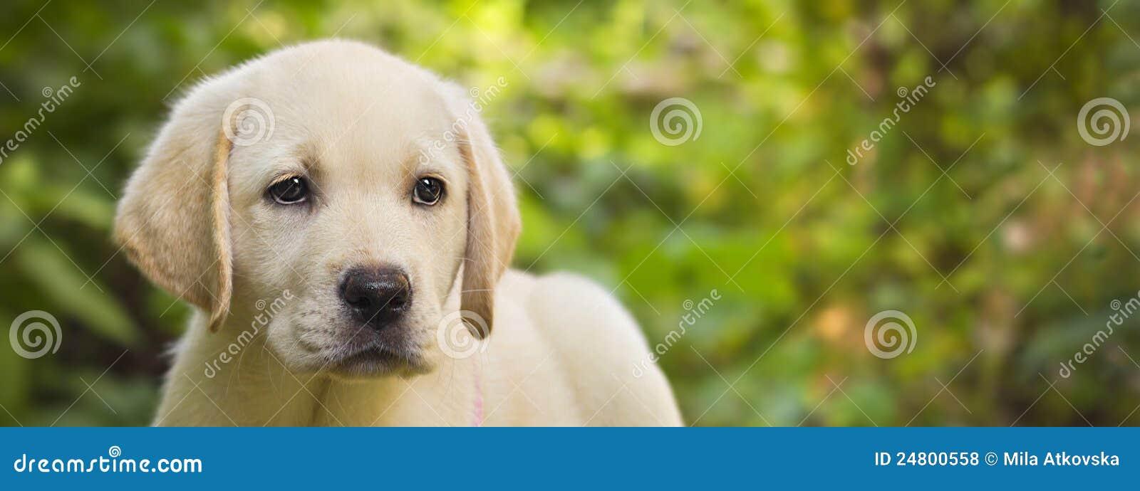 Labrador retriever puppy in the yard banner