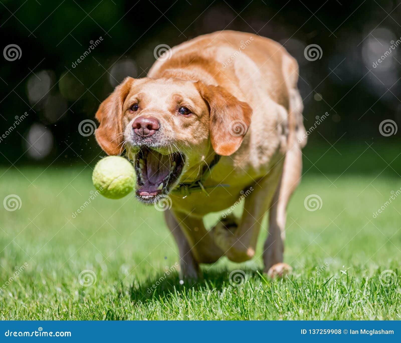 Labrador retriever que corre para a câmera aproximadamente para travar uma bola