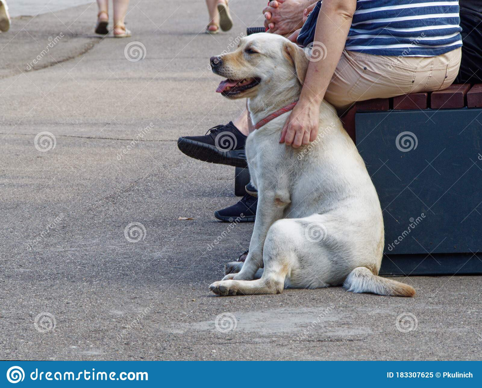 Labrador Retriever Shorthair Rest For A Walk Next To The Master Stock Image Image Of Bench Rest 183307625