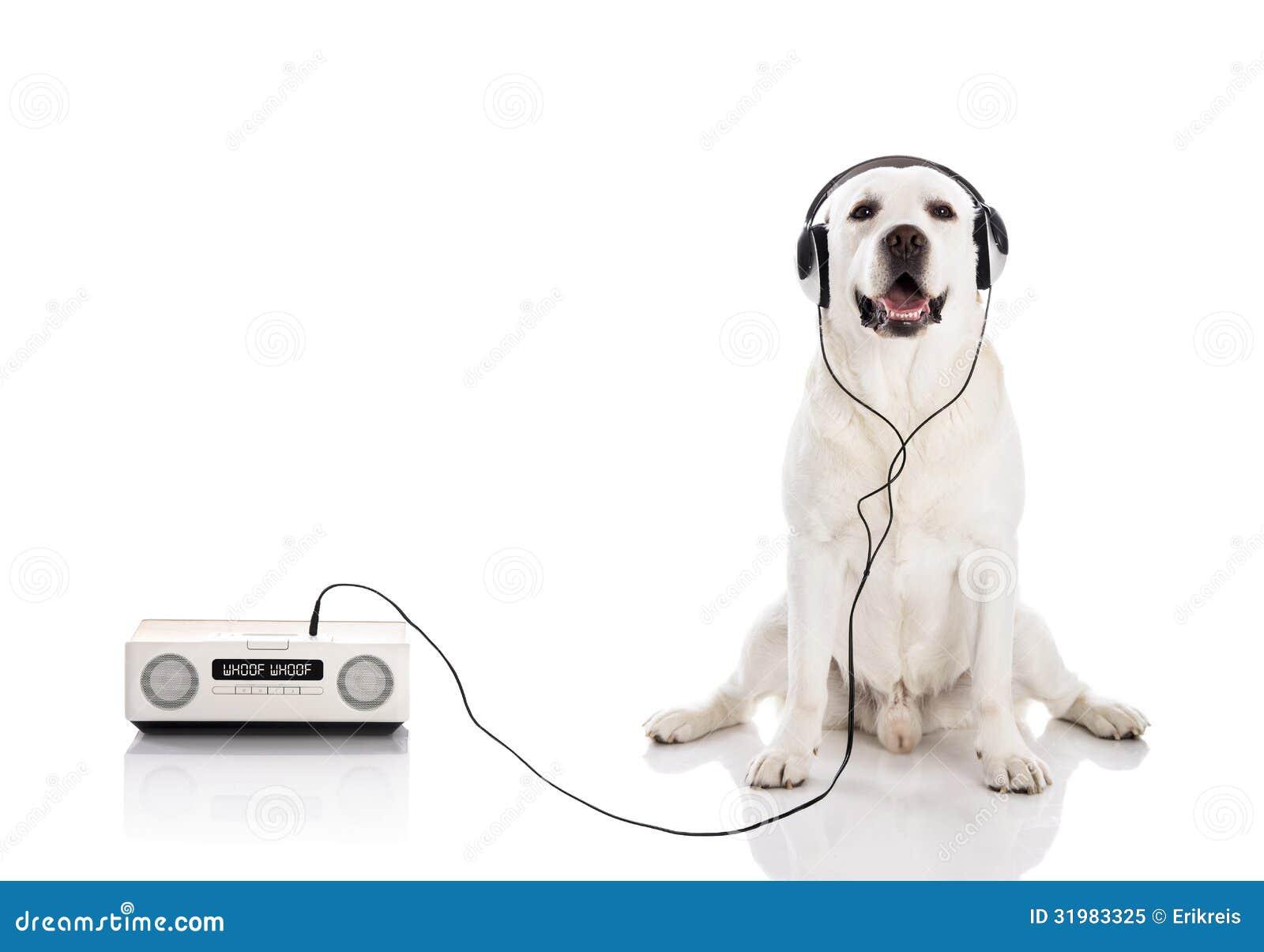Labrador słucha muzykę