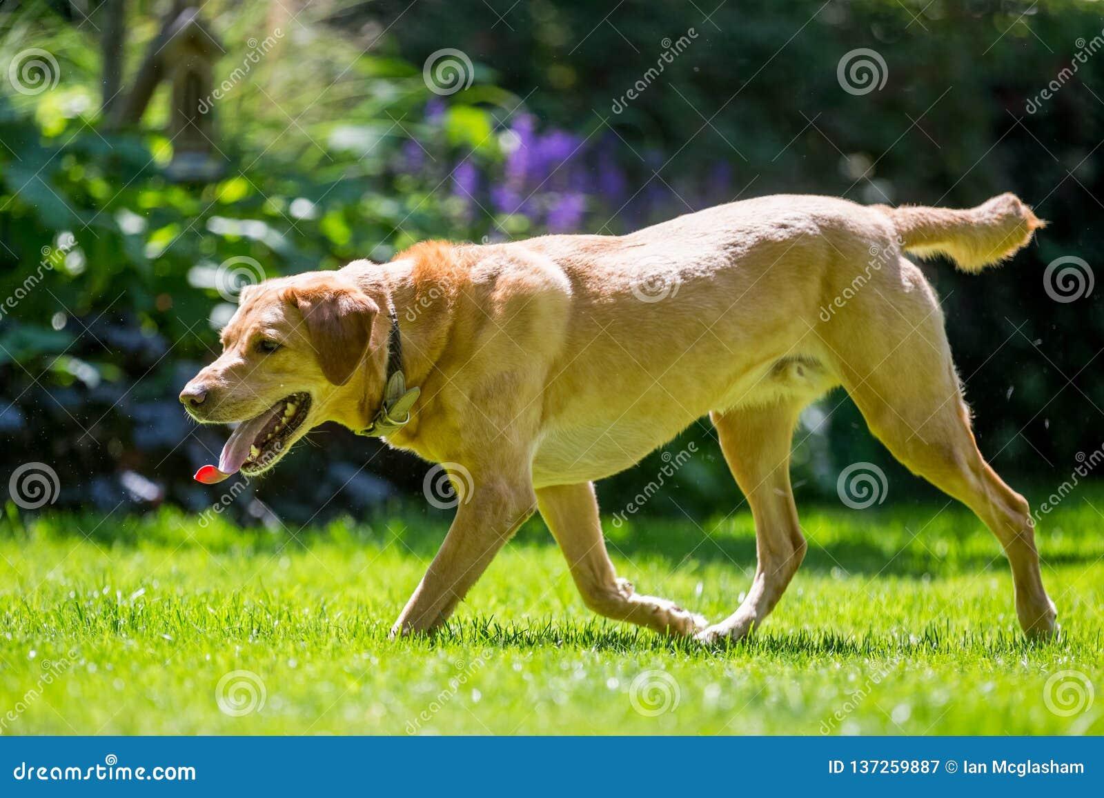 Labrador som går över gräs upp på en solig dag