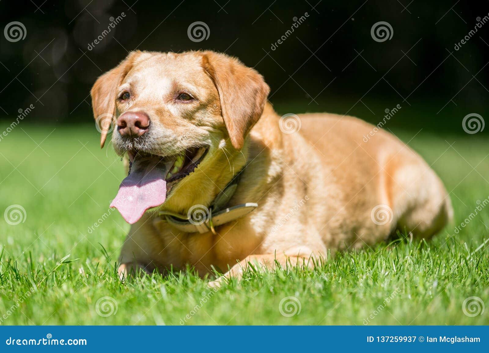 Labrador som ligger på gräs som ser framåtriktat på en tunga för solig dag ut