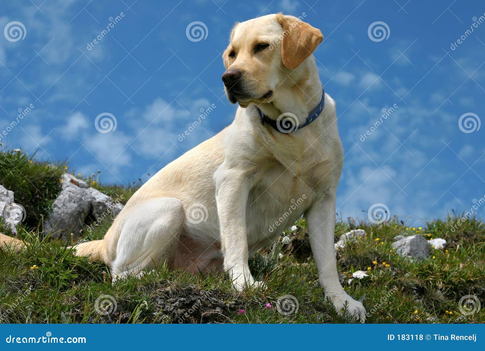Labrador sulla parte superiore