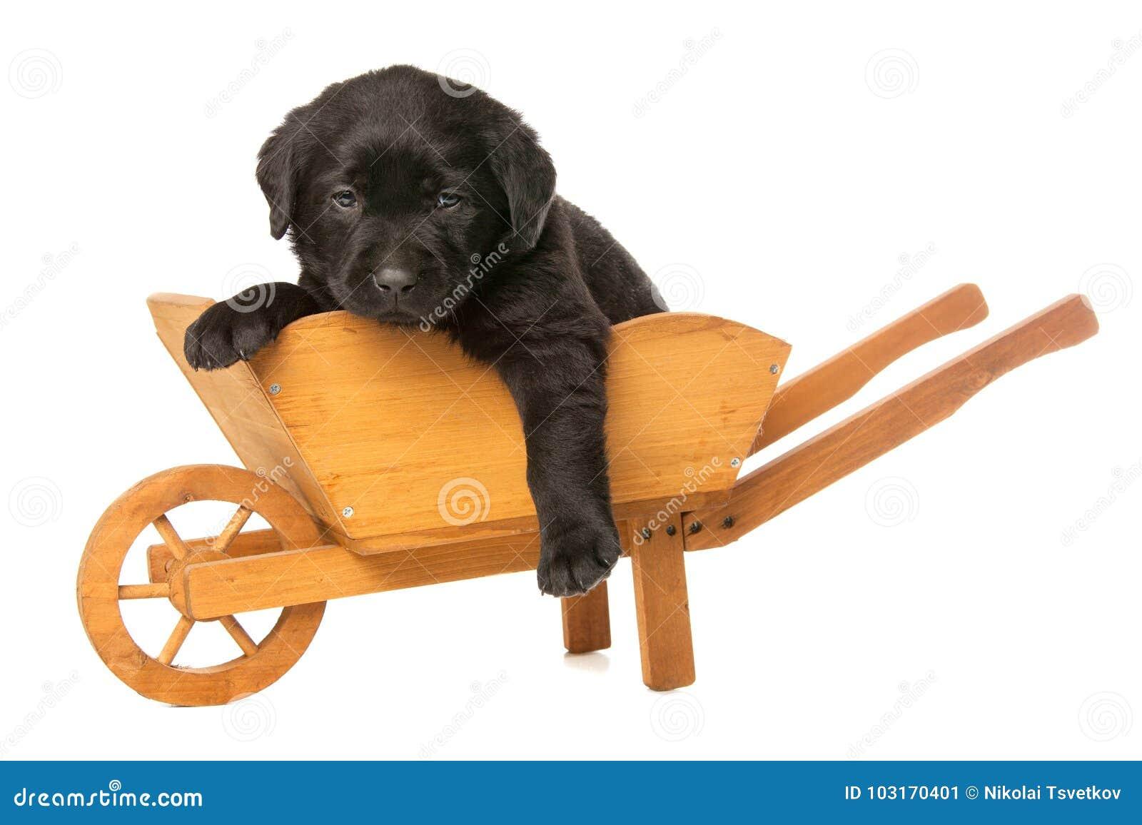 Labrador valpretriever