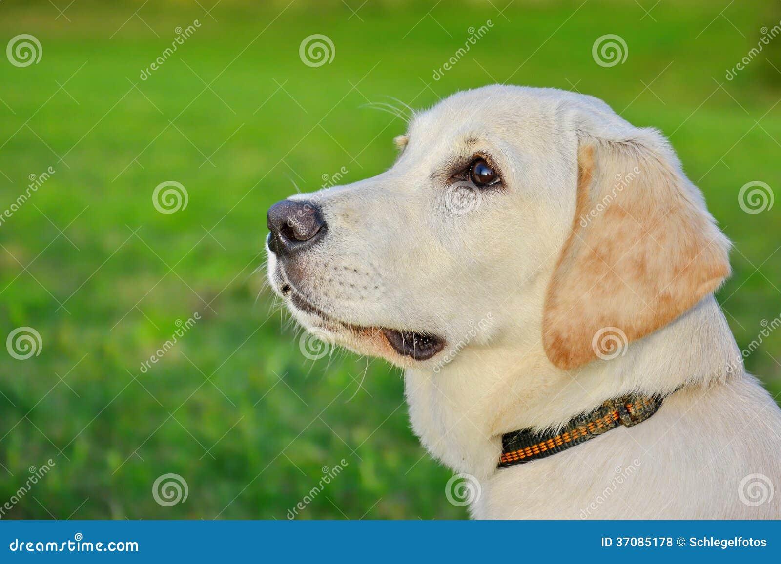 Download Labradora pies w naturze zdjęcie stock. Obraz złożonej z szczęśliwy - 37085178
