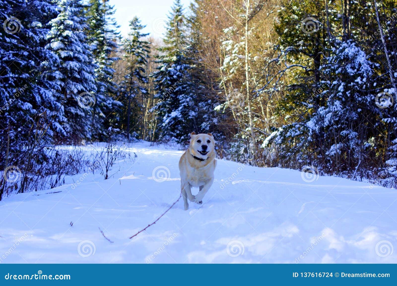 Labradora psi bieg w śniegu