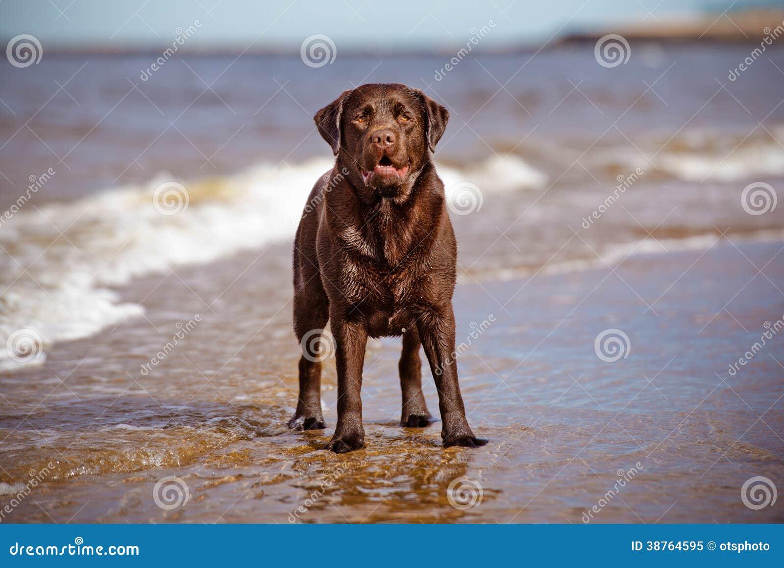 Labradorhond het spelen bij het overzees