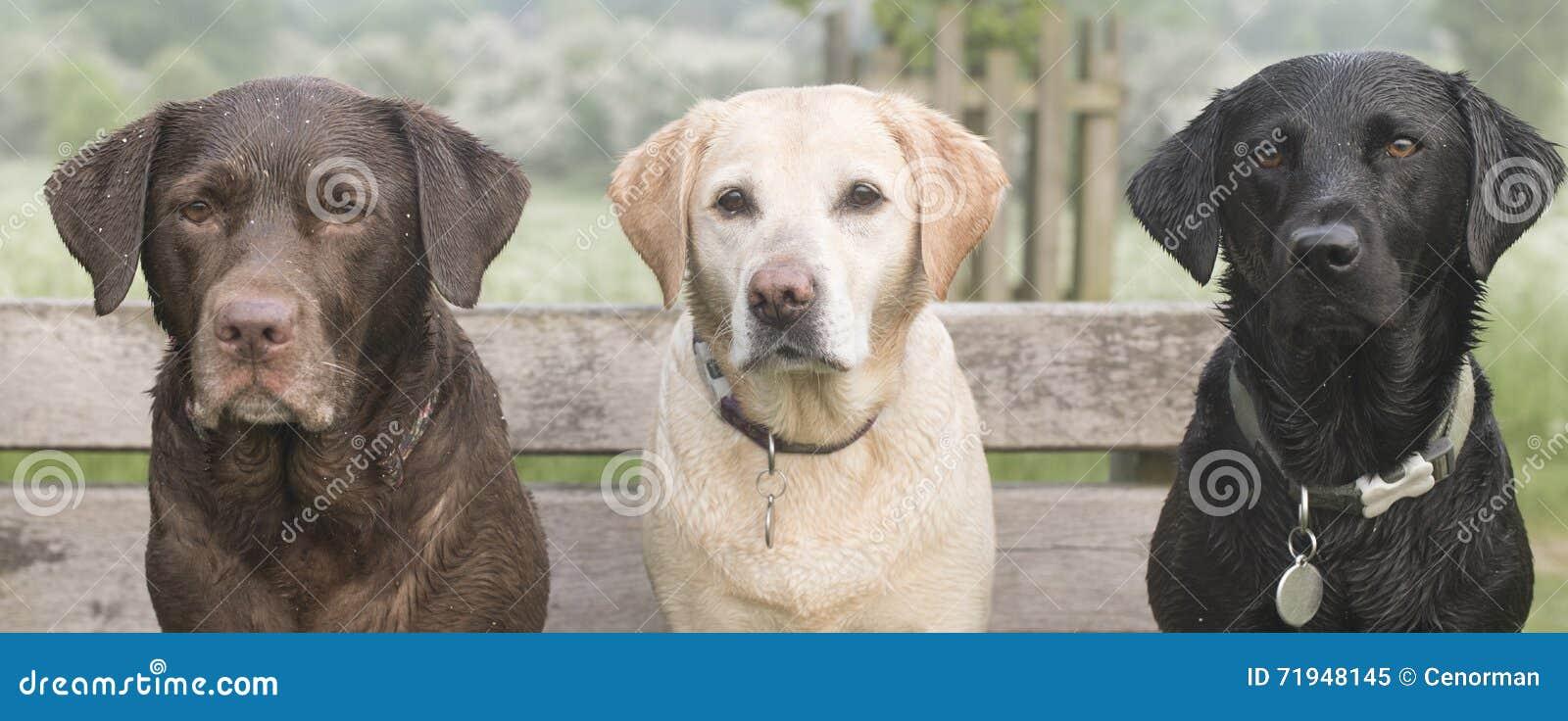 3 labradors