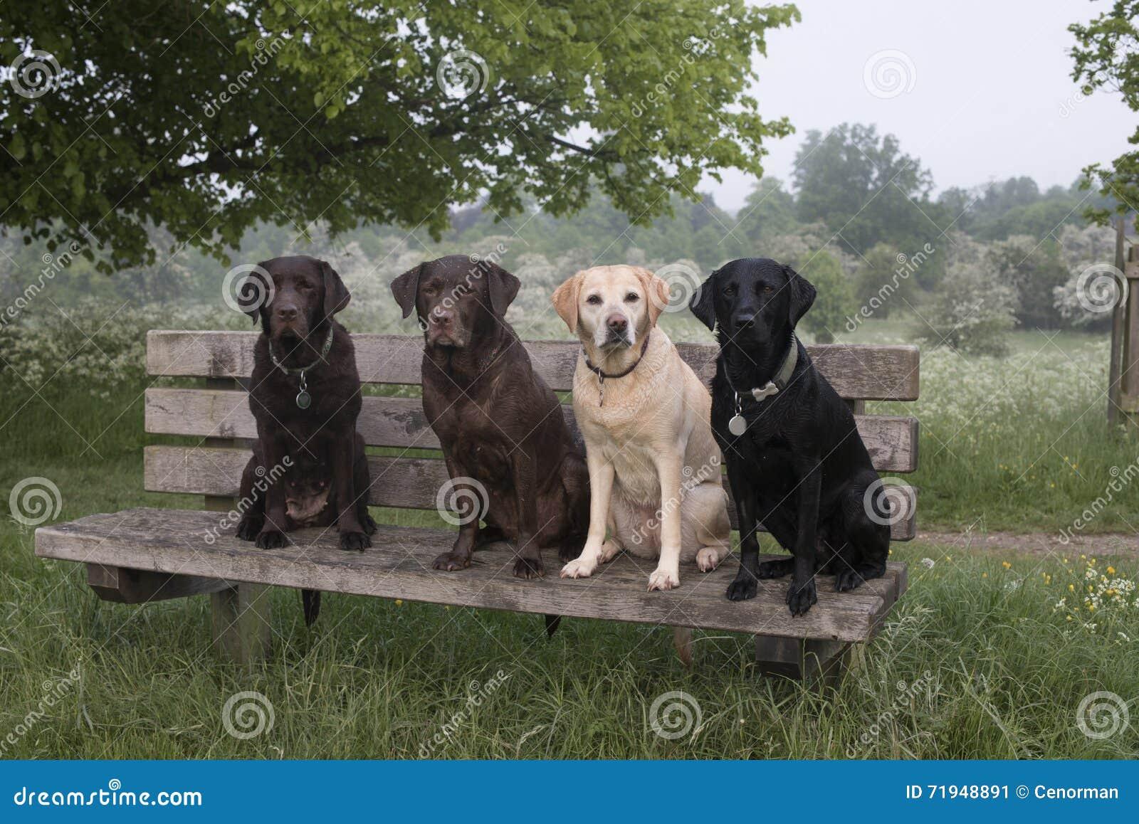 4 labradors