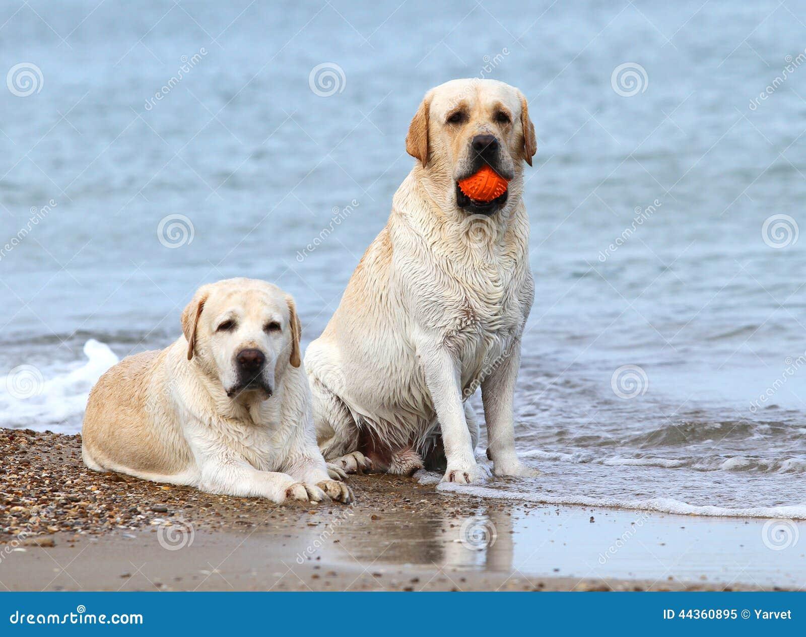 Labradors al mare con una palla