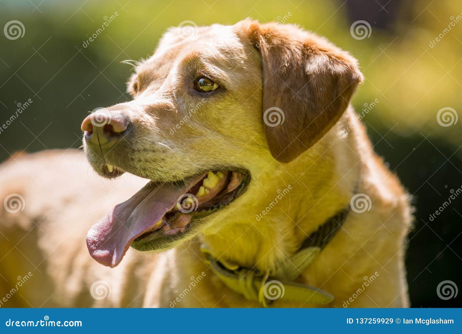 Labradorslut upp framsidaståenden på en solig dag guld-