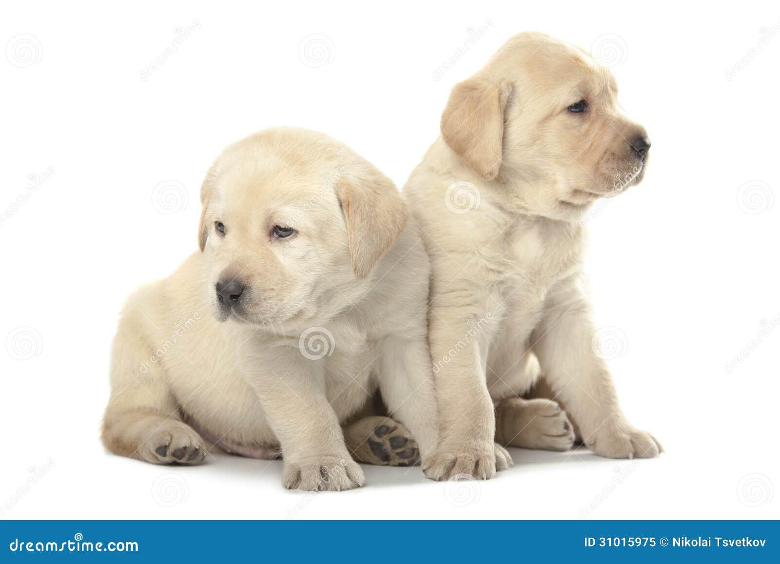 Labradorvalpar