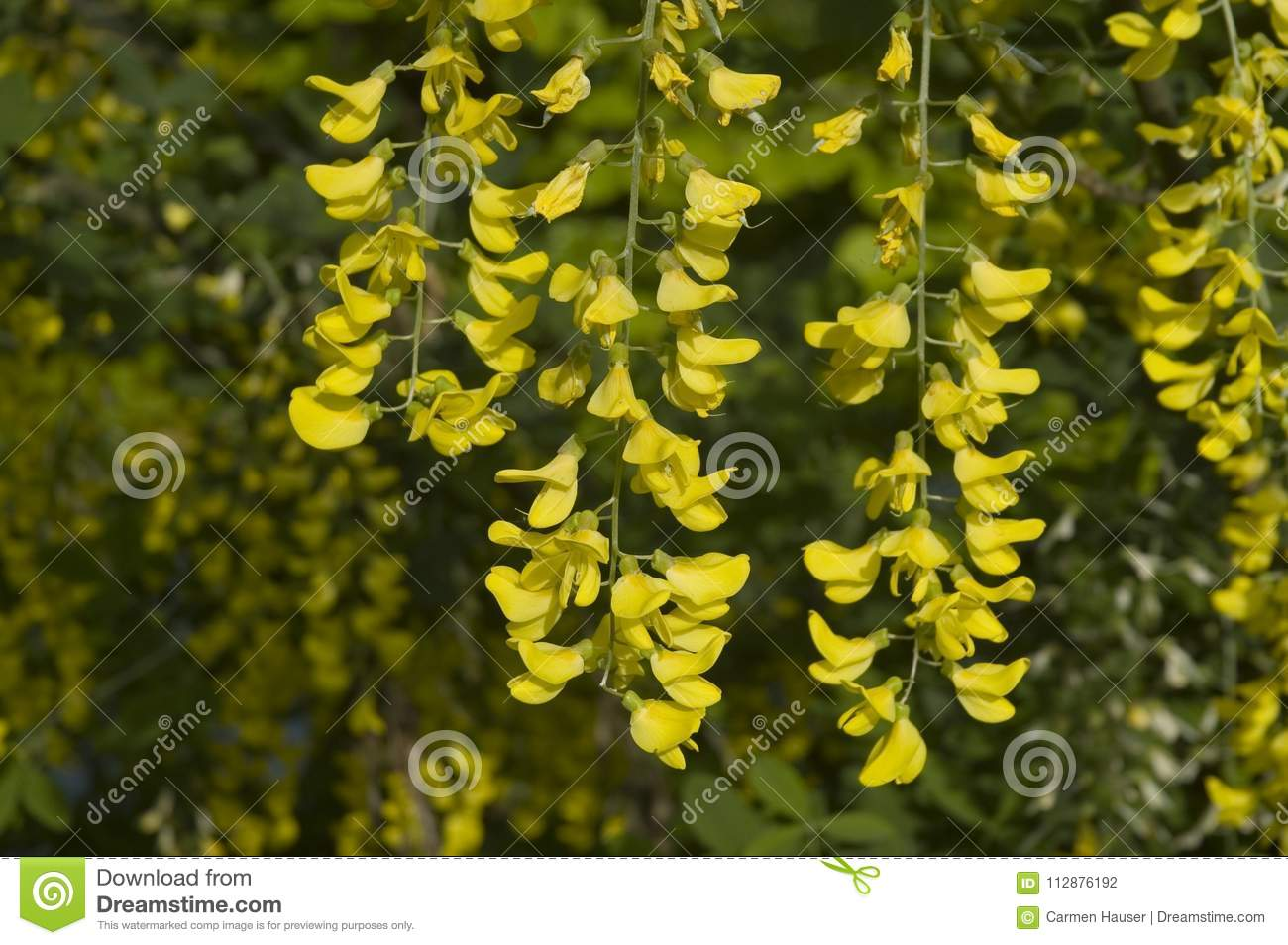 Yellow Flowers Of A Golden Chain Tree Stock Photo Image Of