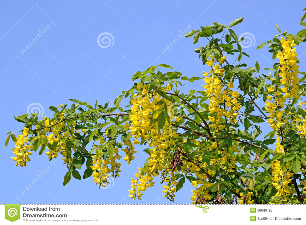 Laburnum tree blooming stock photo image of yellow horticulture 50640790 - Trees that bloom yellow flowers ...
