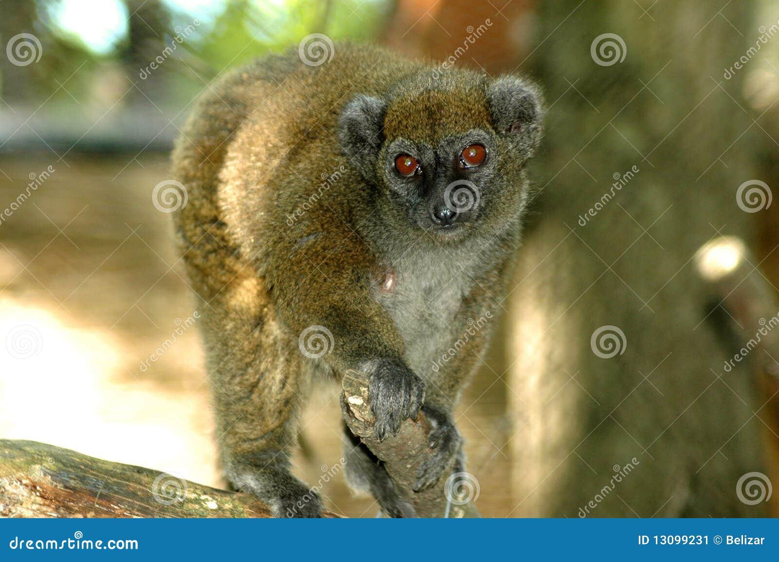 Lac Alaotra Gentle Lemur (Hapalemur alaotrensis)