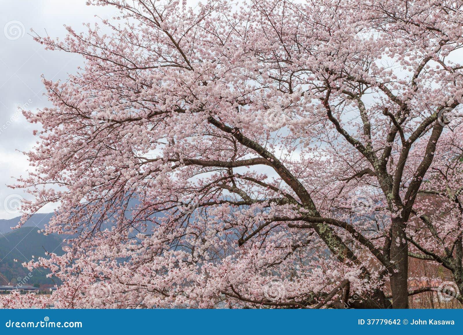 Lac rose kawaguchi d 39 arbre de fleurs de cerisier au printemps japon photographie stock image - Arbre fleurs rouges printemps ...