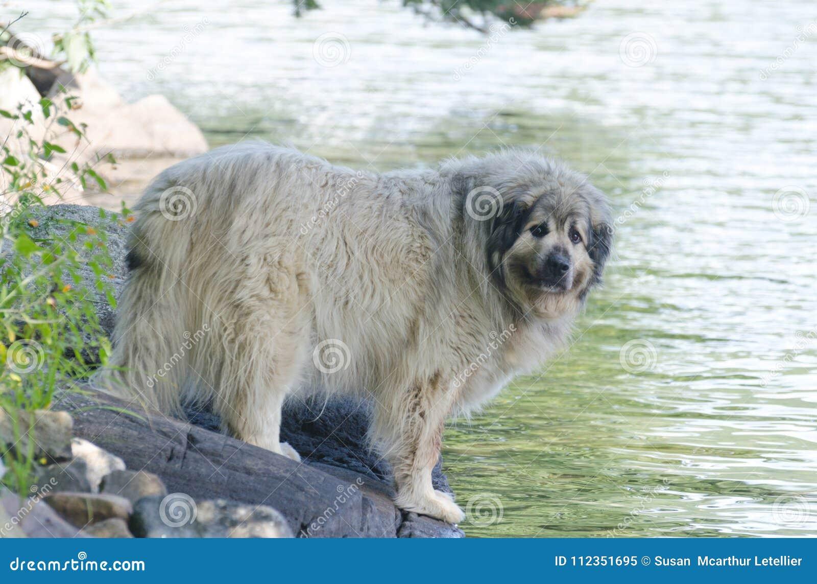 Lac se tenant prêt dog pyrénéen de montagne en été