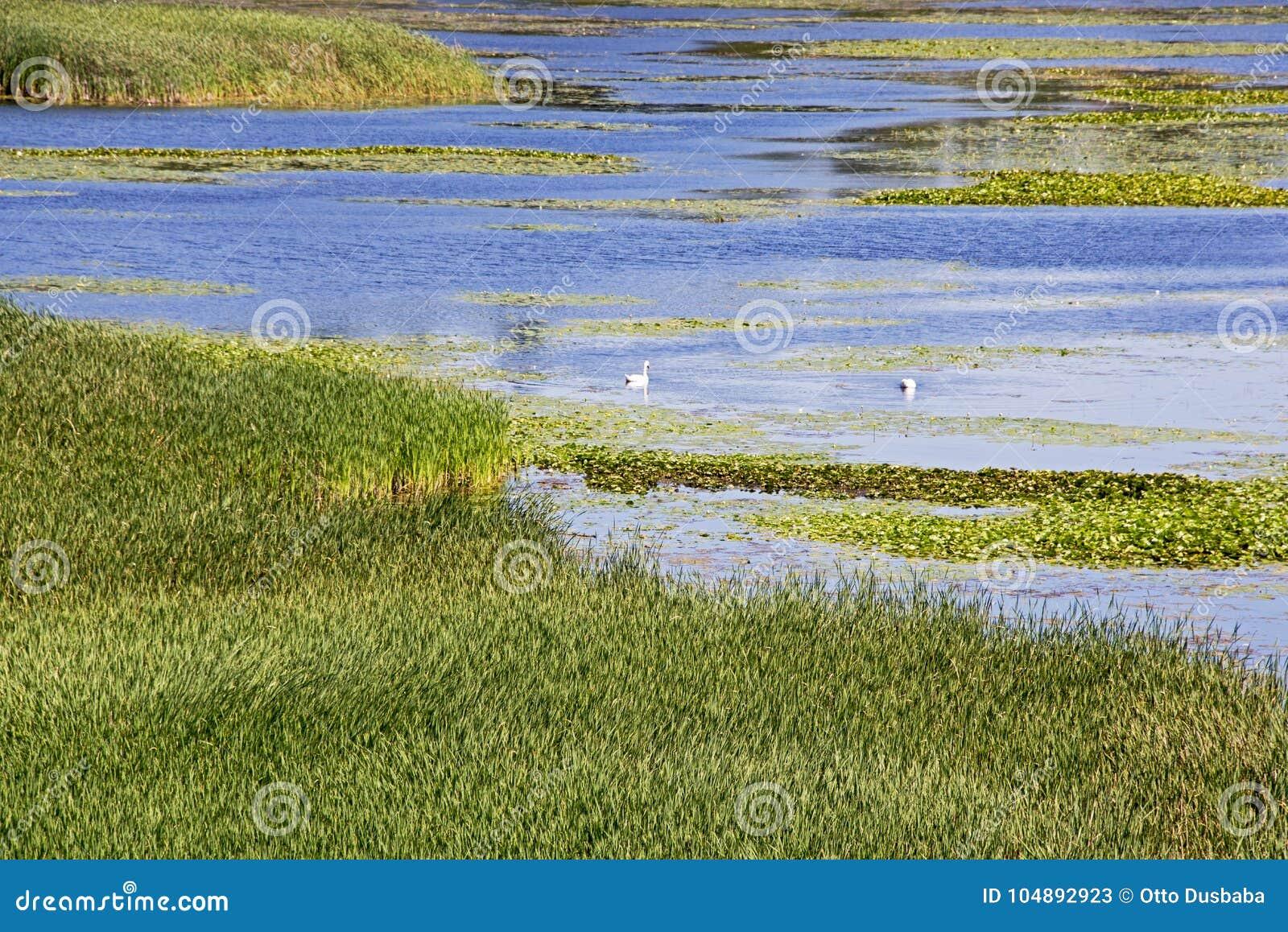 Lac summer avec des roseaux