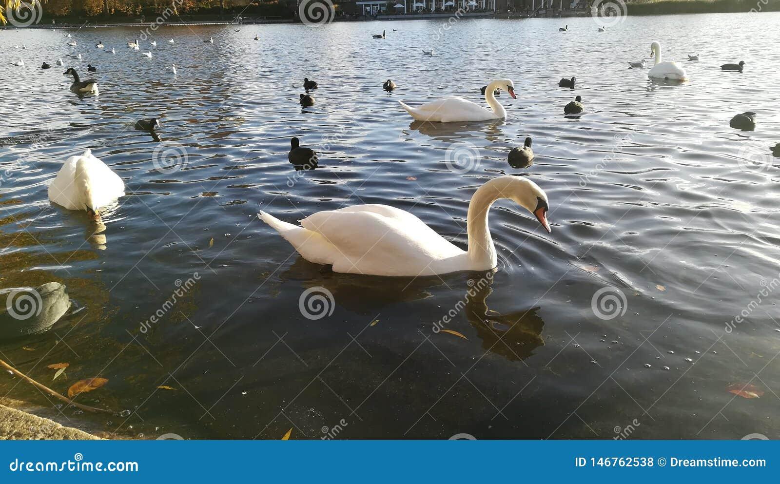 Lac swan dans Hyde Park, Londres, R-U