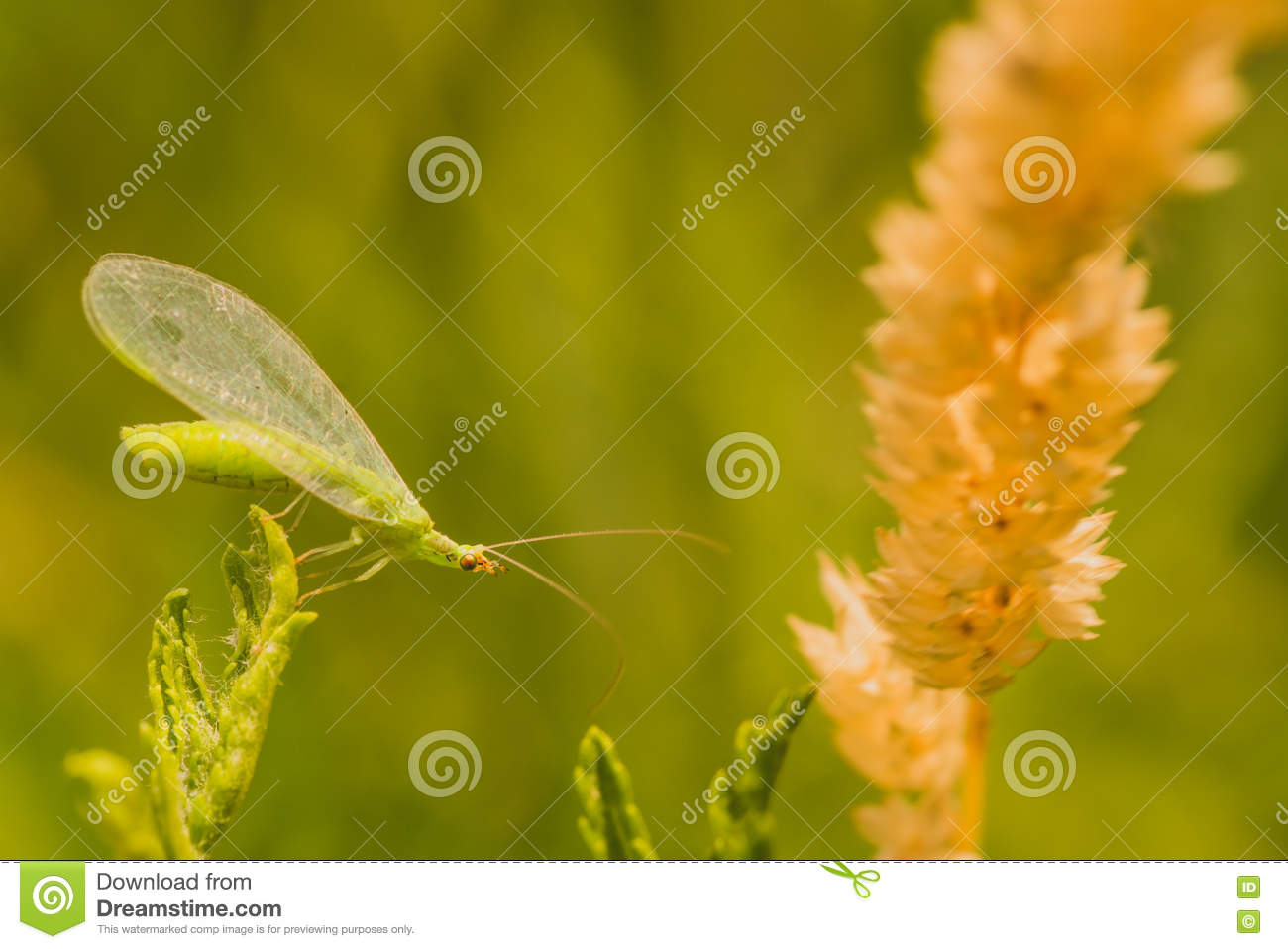 Lacewing Bug Macro