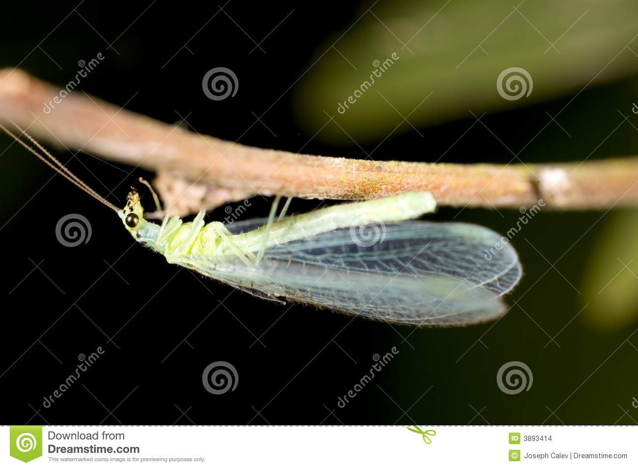 Lacewing verde