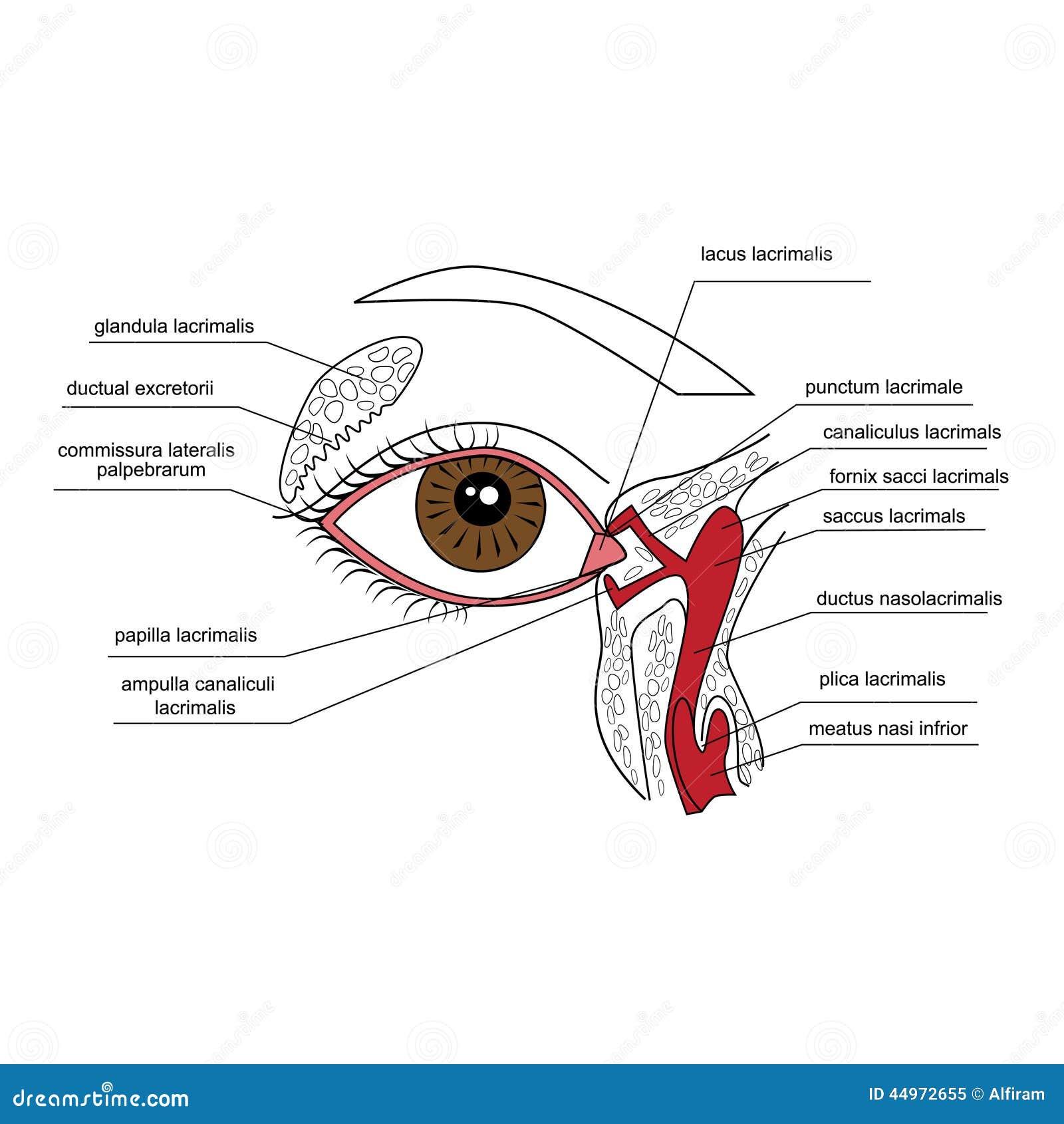 Lacrimal apparatus stock vector. Illustration of health - 44972655