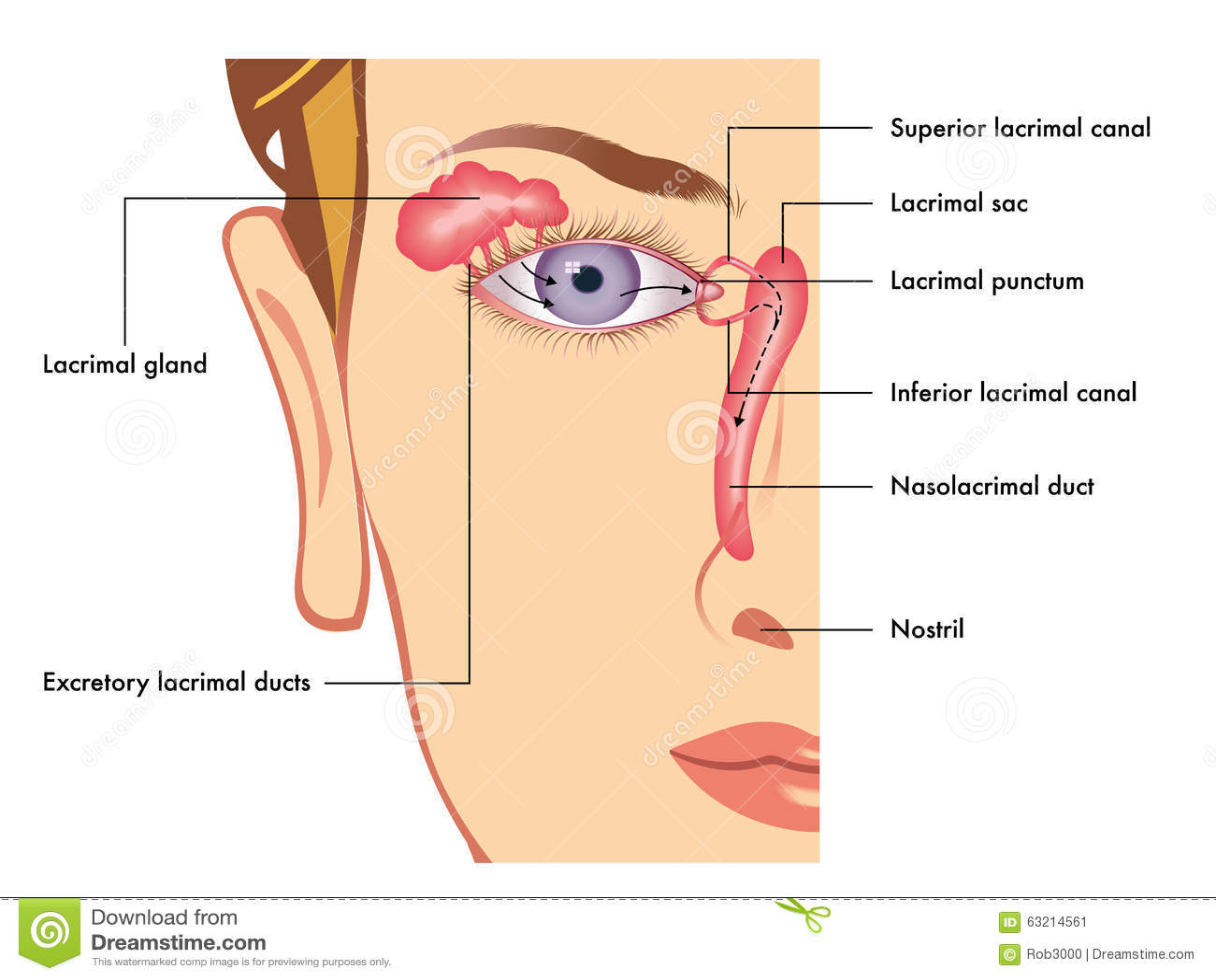 Lacrimal apparatus stock image. Image of apparatus, inferior - 63214561