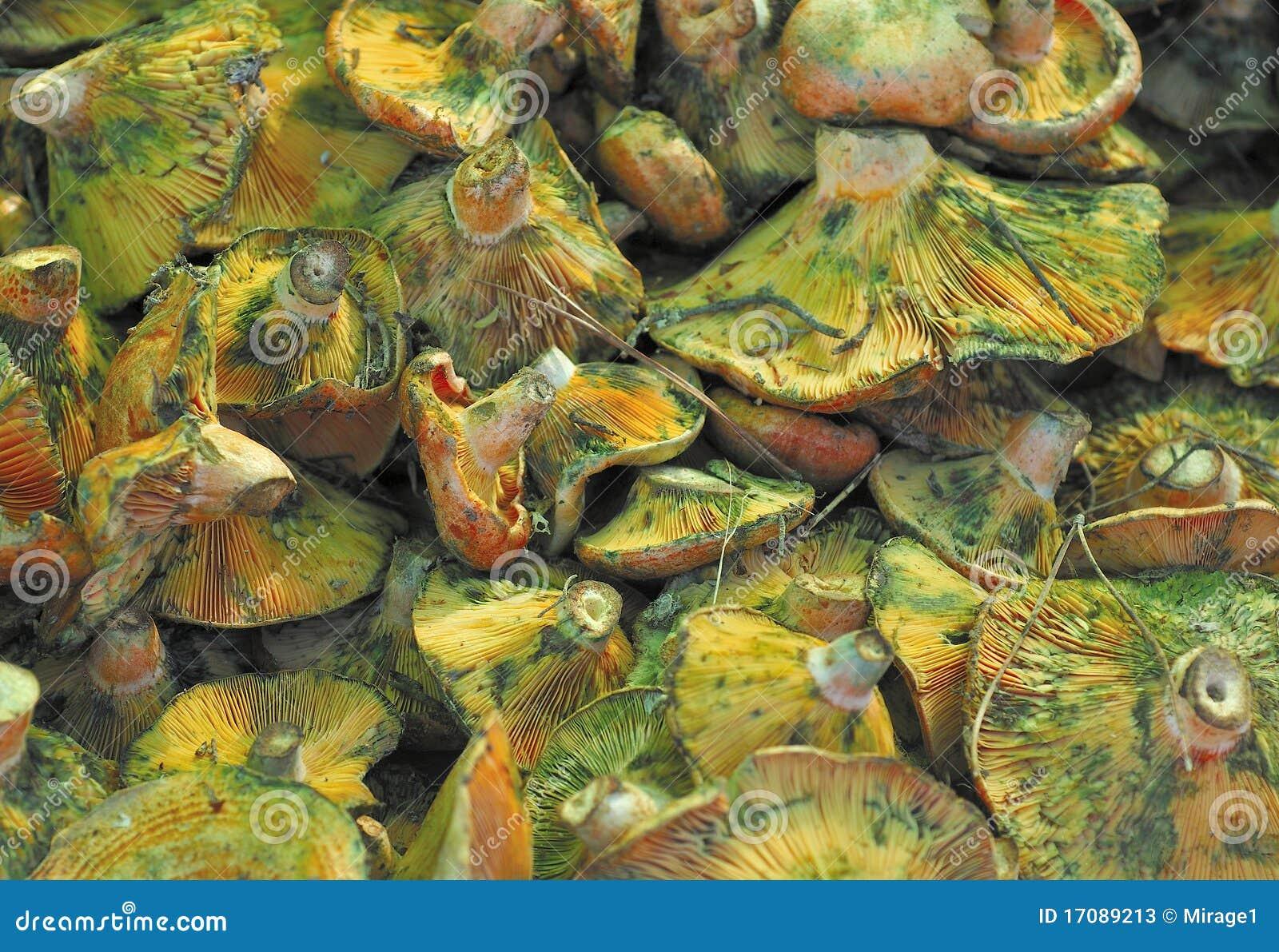 Lactarius- Deliciosuspilze