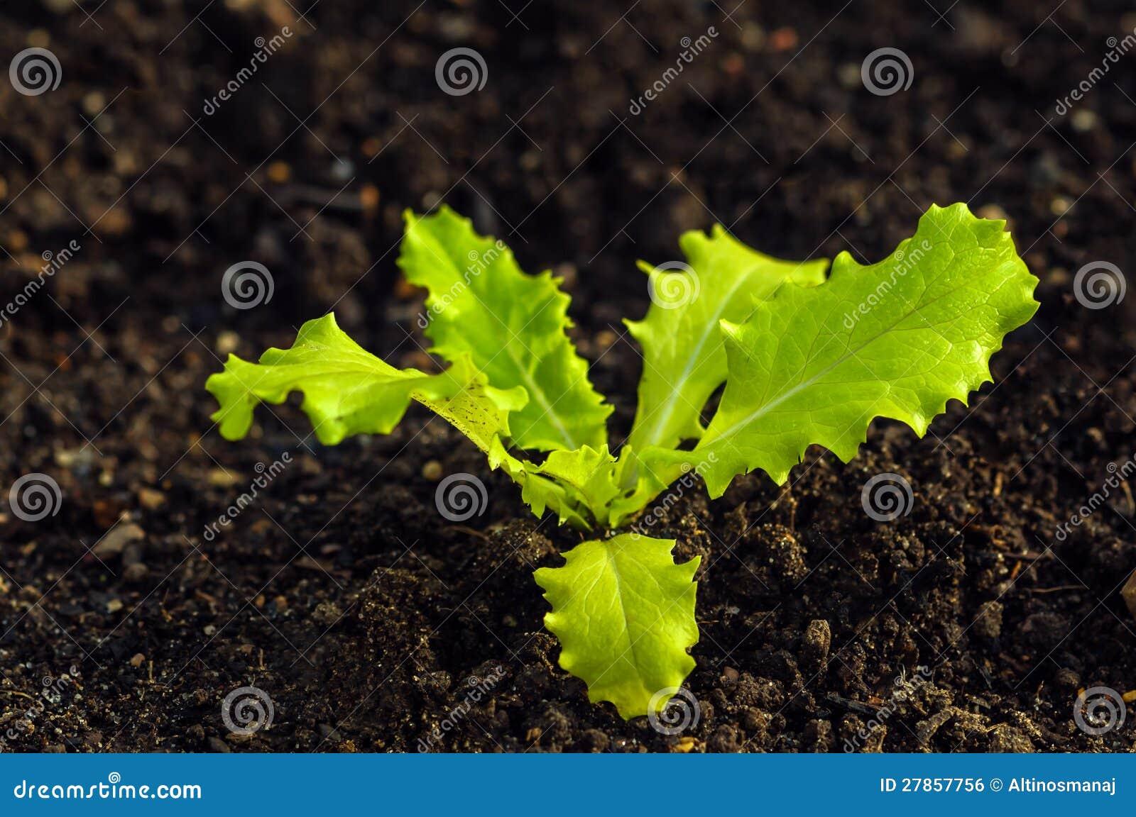 Lactuca Sativa - sałaty rośliny kultywacja