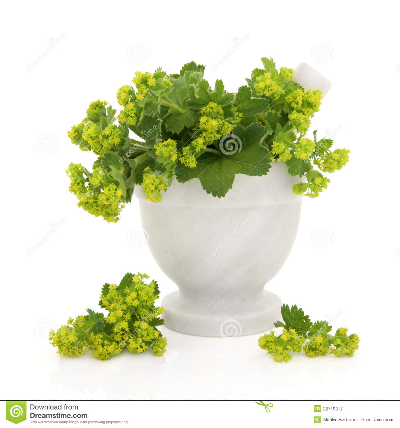 Ladies mantle herb flower sprigs in a marble mortar with pestle with