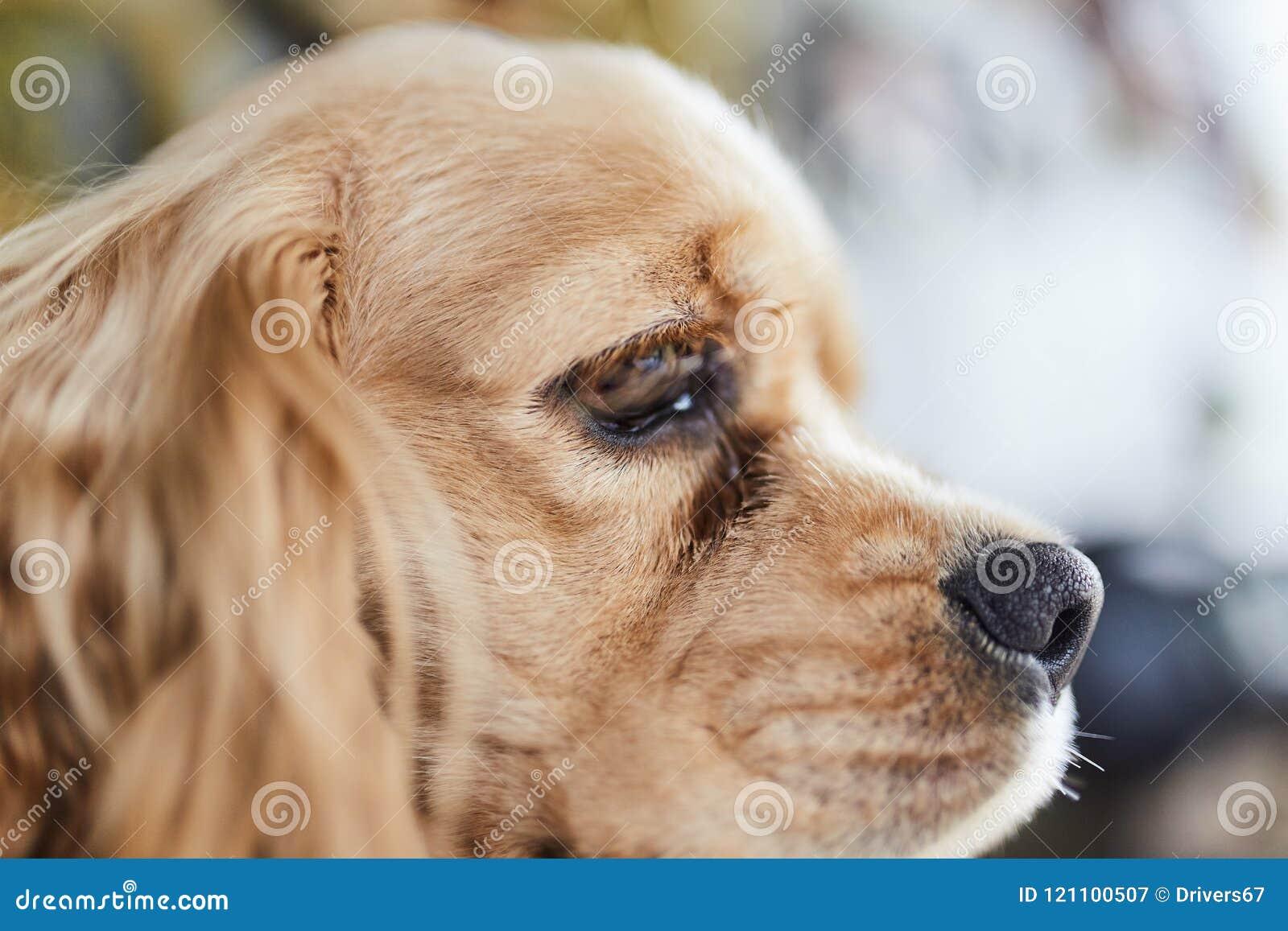 Lado do cachorrinho de cocker spaniel do americano