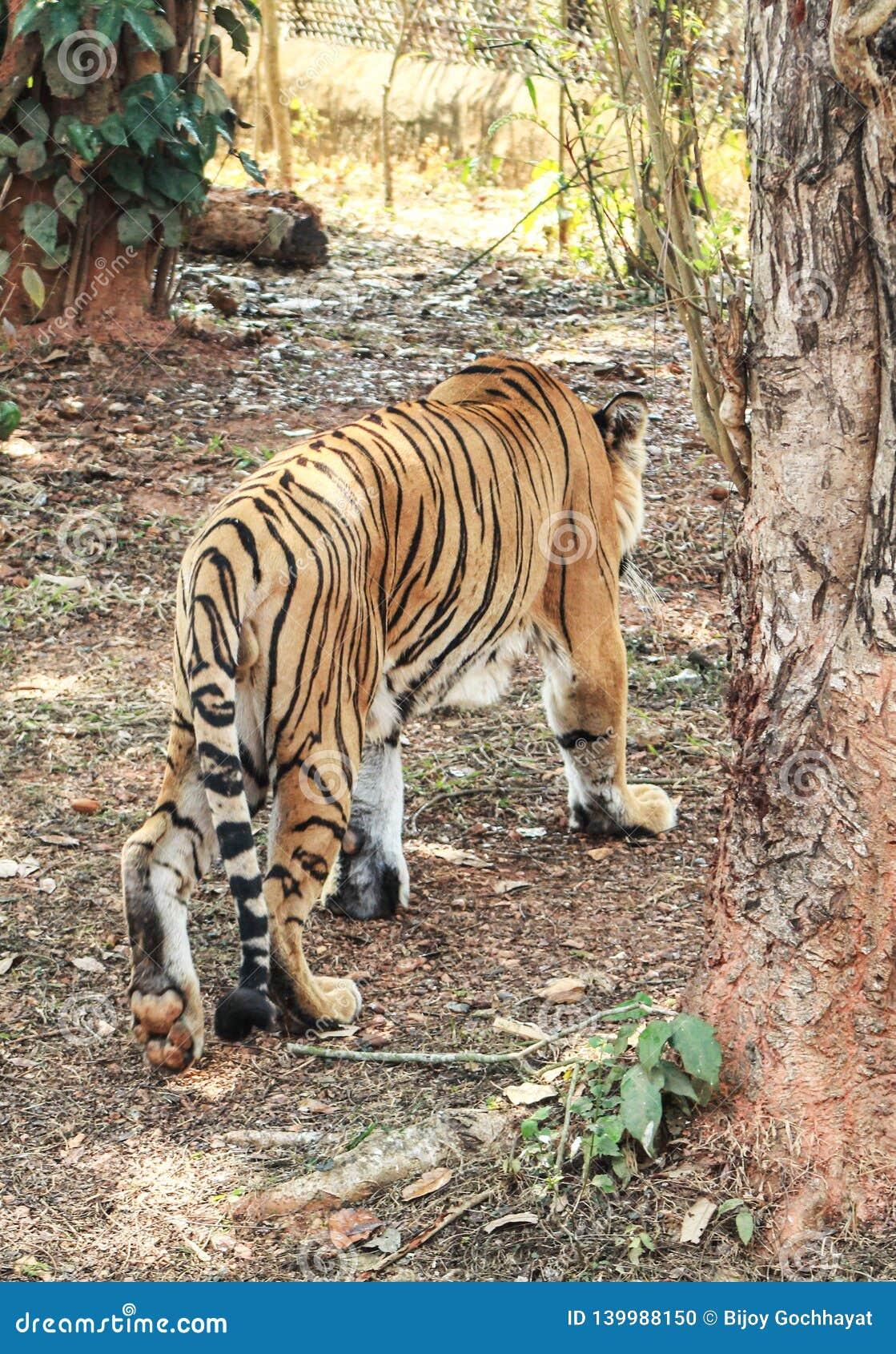 Lado trasero del tigre de la tigresa