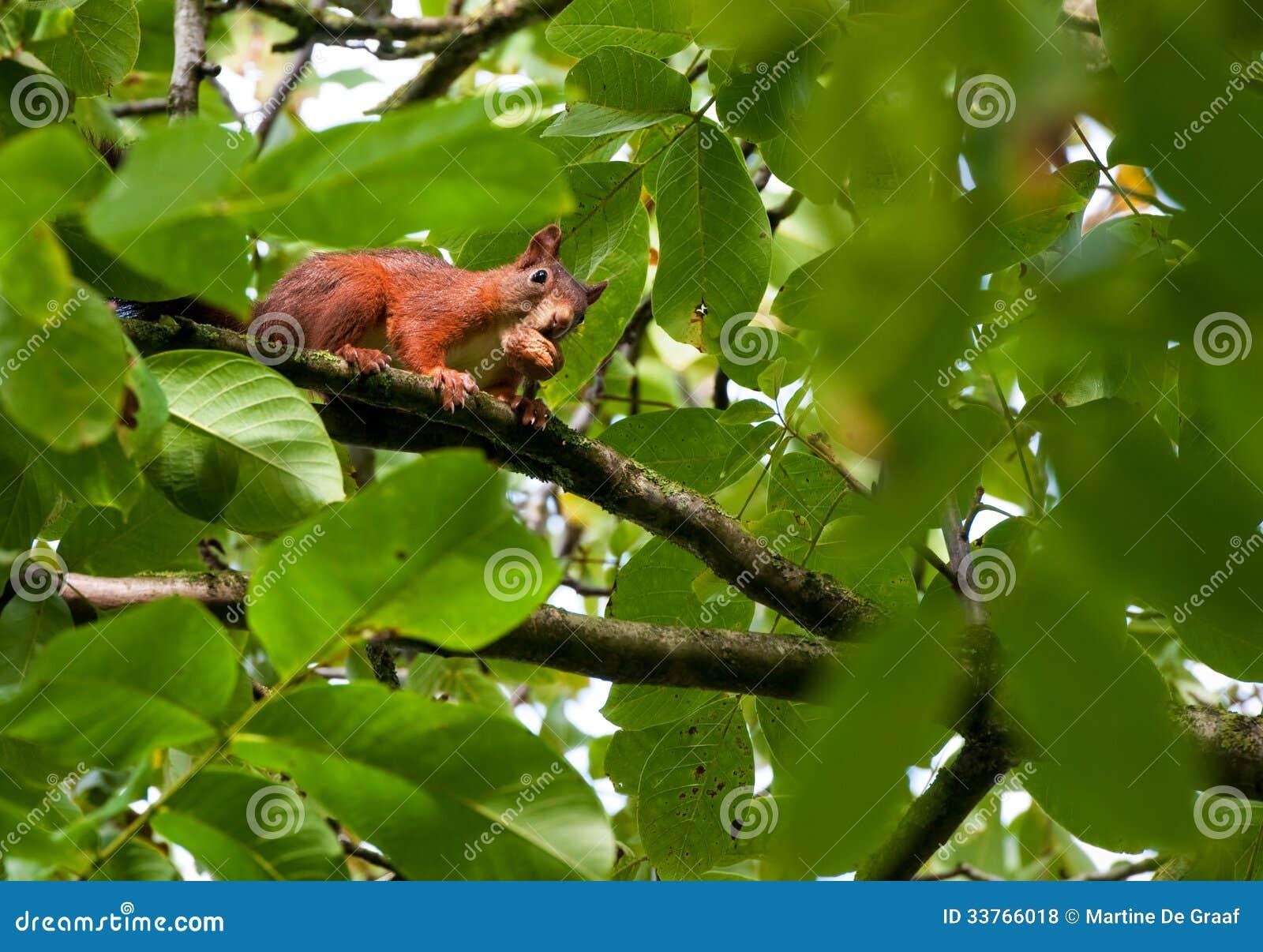 Ladro dello scoiattolo