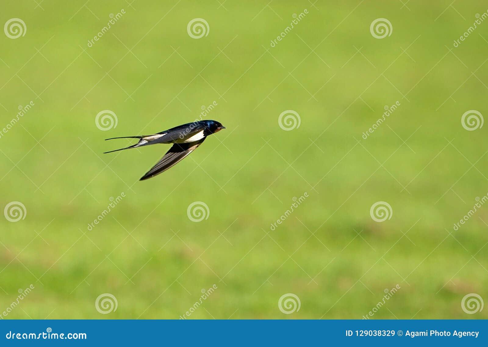 Ladugårdsvala, Boerenzwaluw, Hirundorustica