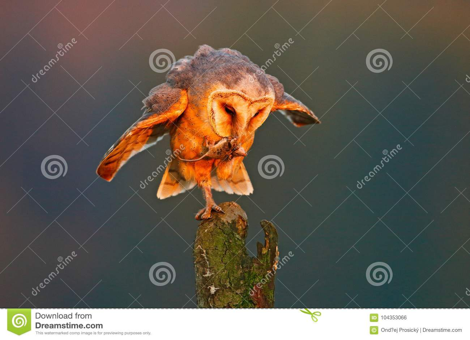 Ladugårduggla med låsmusen Fågel i trevligt orange ljus Höstskog, härlig fågel Uggla djur plats för djurliv, natur Apelsin le