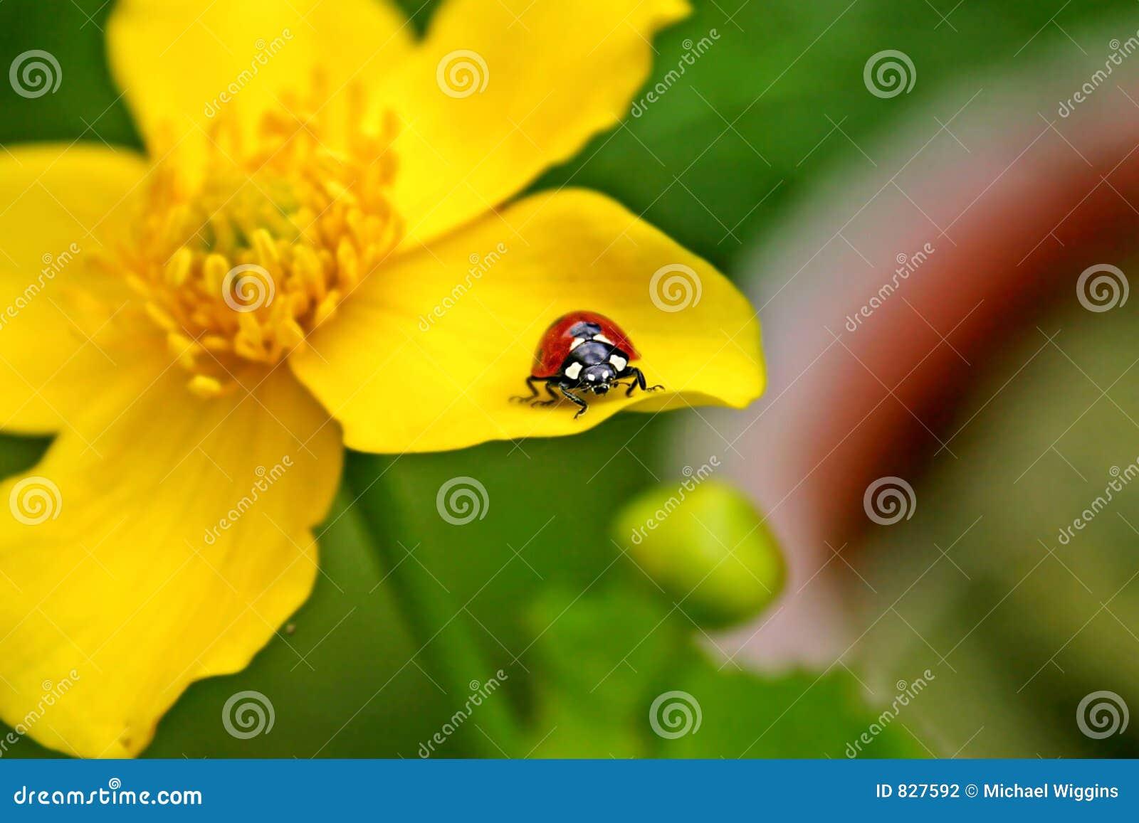 Lady Bird on yellow bloom
