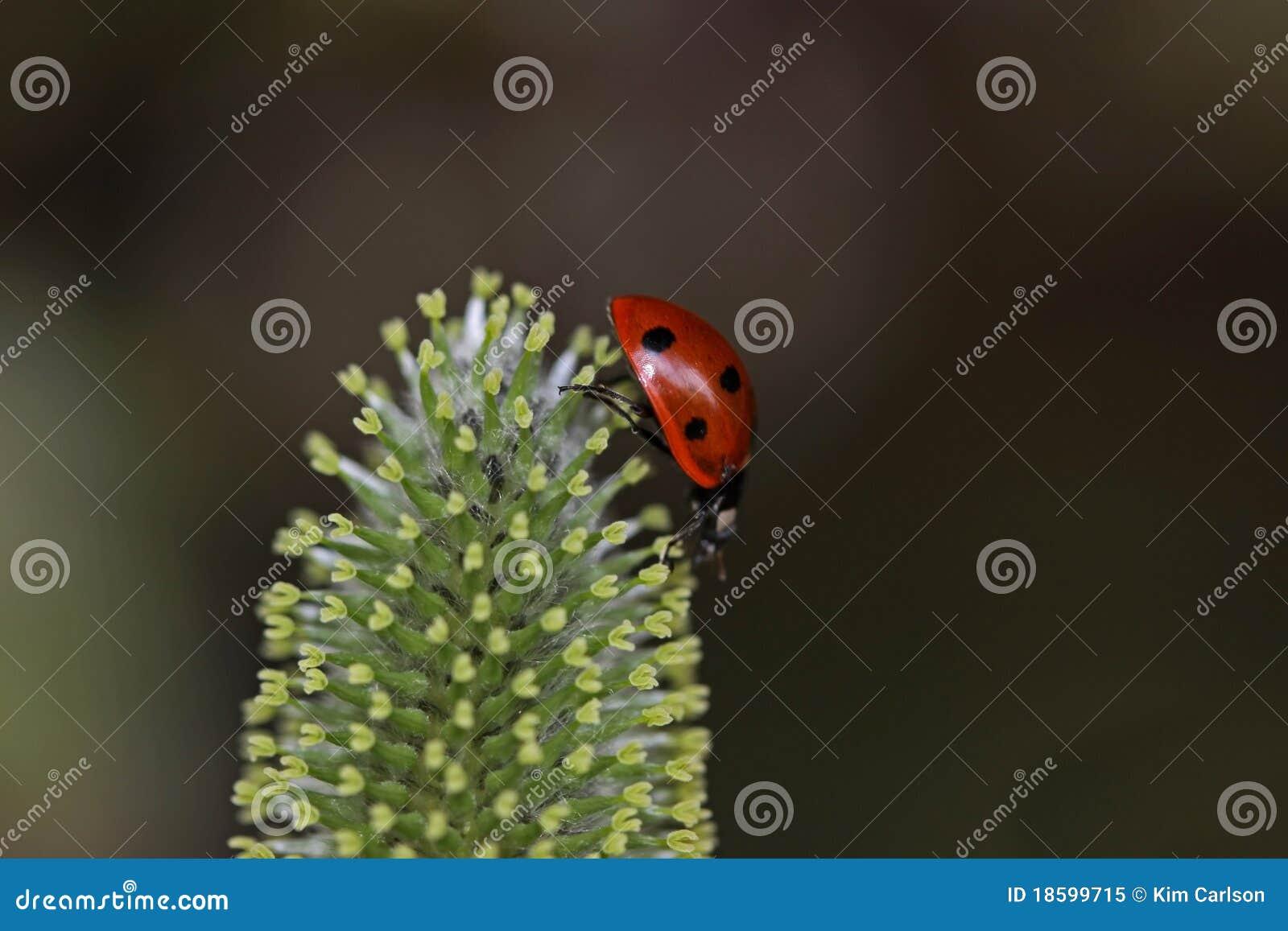 Lady bug on walk