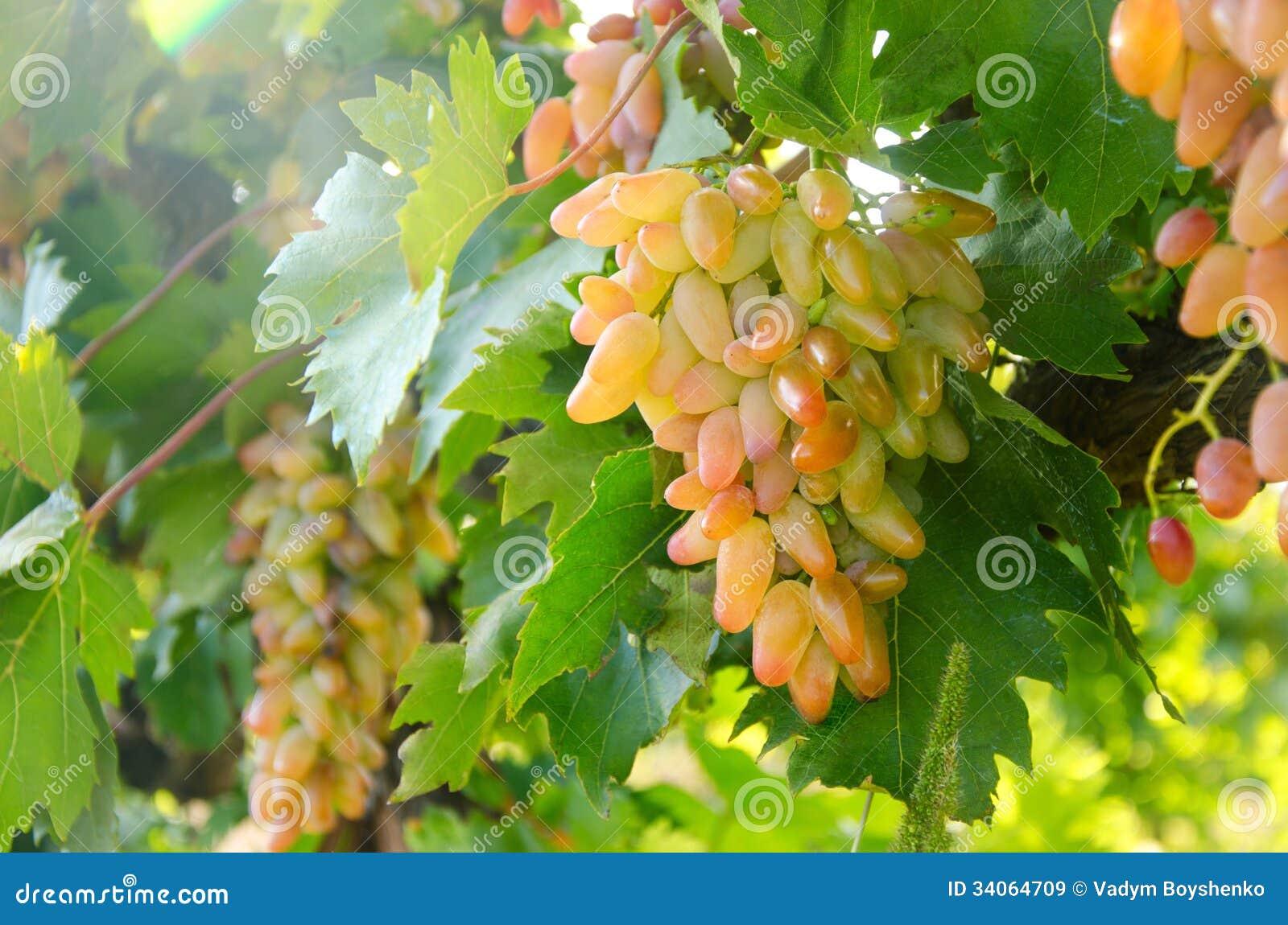 Виноград маникюр фингер описание фото