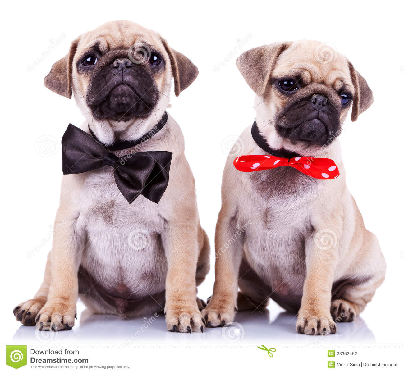 Best Pug Bow Adorable Dog - lady-gentleman-pug-puppy-dogs-23362452  You Should Have_12320  .jpg