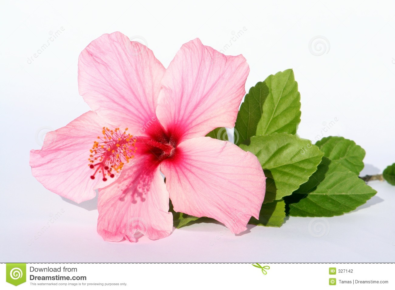 Lady Pink Flower Stock Photo Image Of Detail Summertime 327142
