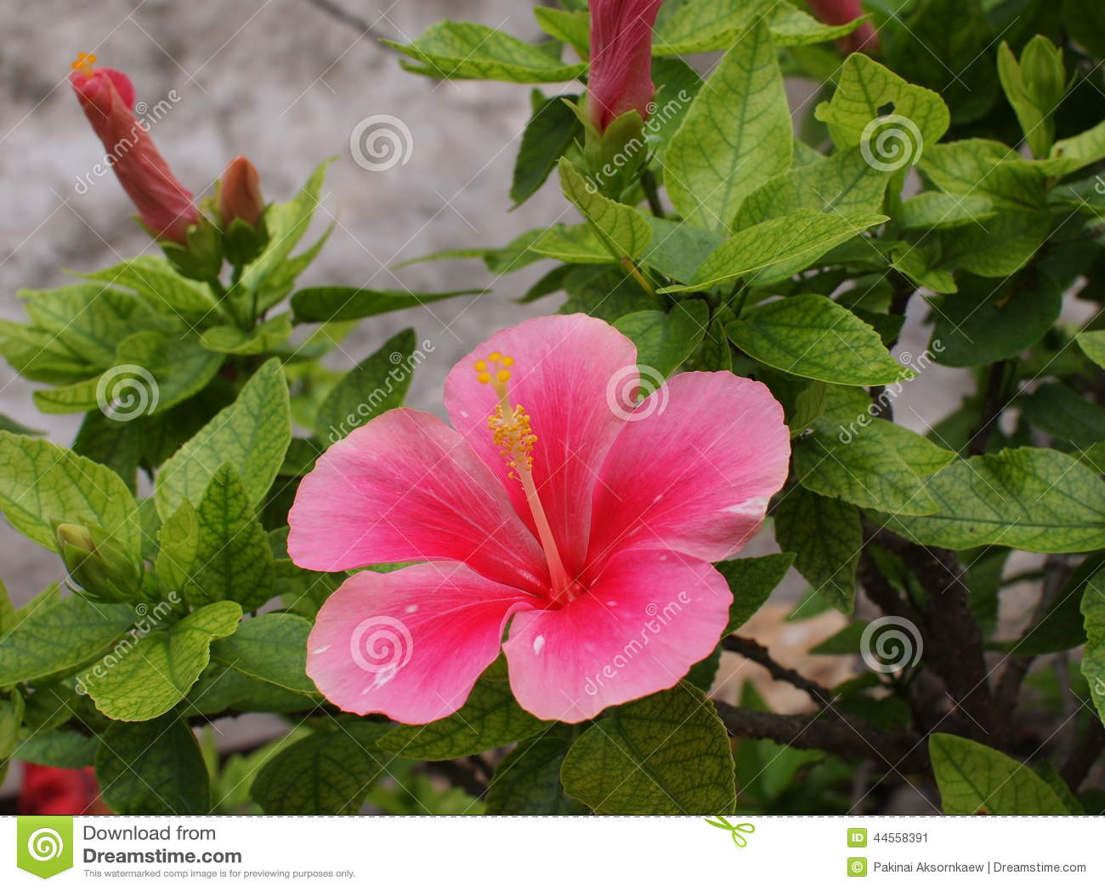 Lady Pink Flower Stock Image Image Of Pinklady Buetyflower 44558391