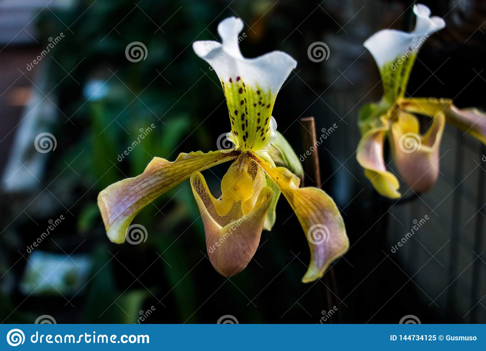 Lady slipper orchid, Cypripedioideae Paphiopedilum, in foreground