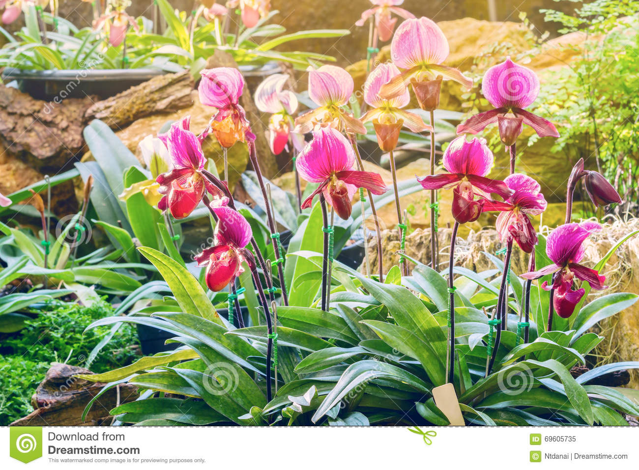 Gardening Group: Lady Slipper Orchid Stock Image. Image Of Ornamental