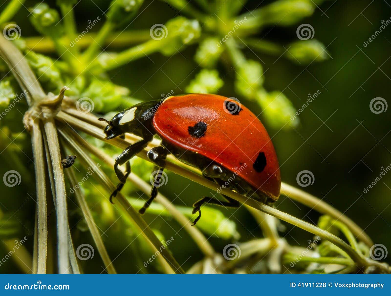 Ladybird biedronka