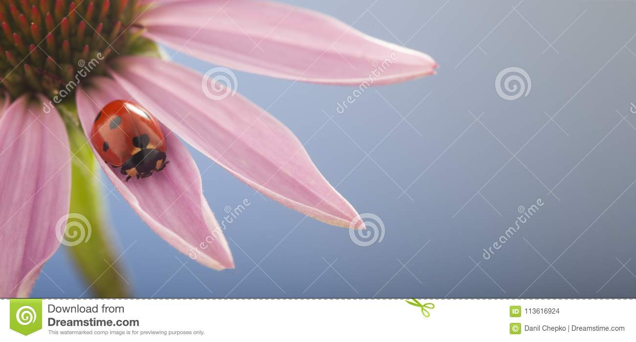 ladybird creeps on stem of plant, red ladybug on Echinacea flower, in spring in garden in summer