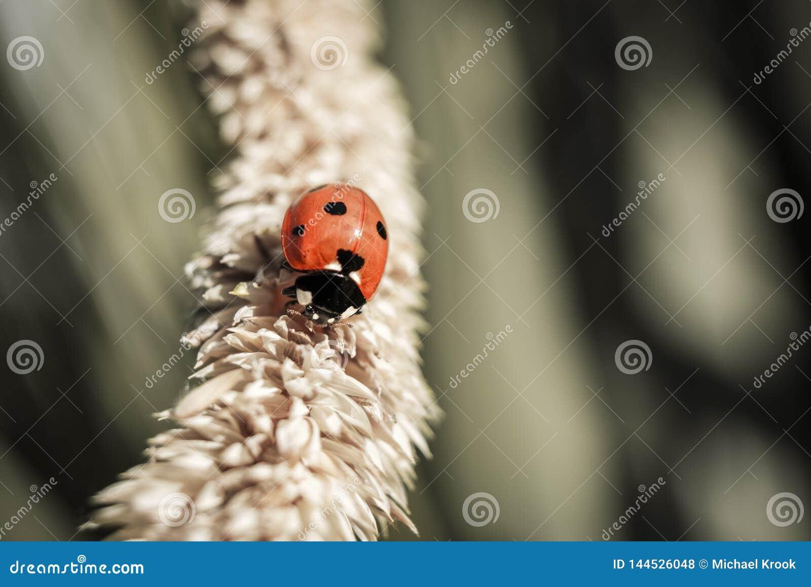 Ladybird odprowadzenie