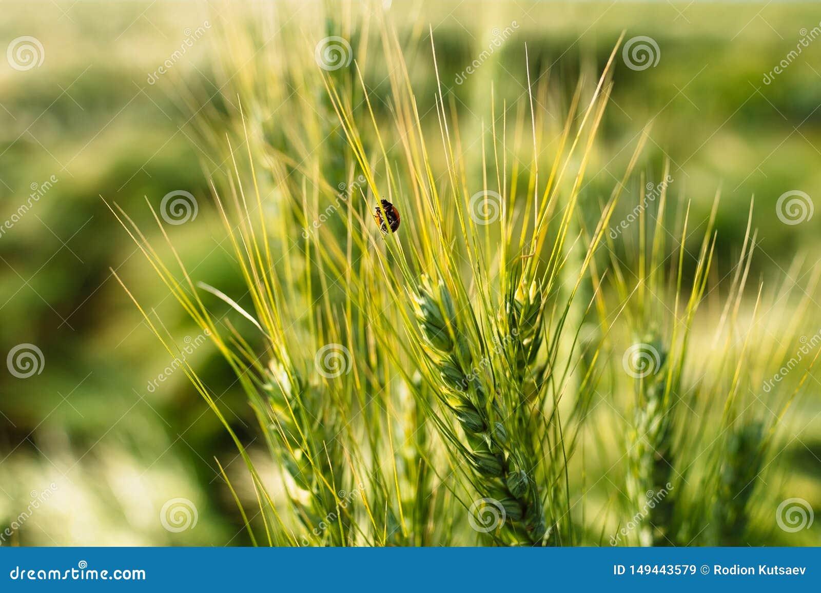 Ladybird pluskwa na pszenicznym spikelet makro-