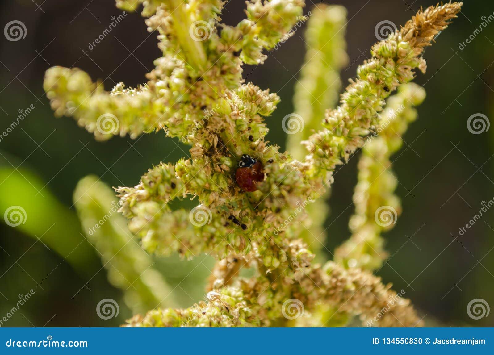 Ladybird sur la tige d amaranthe