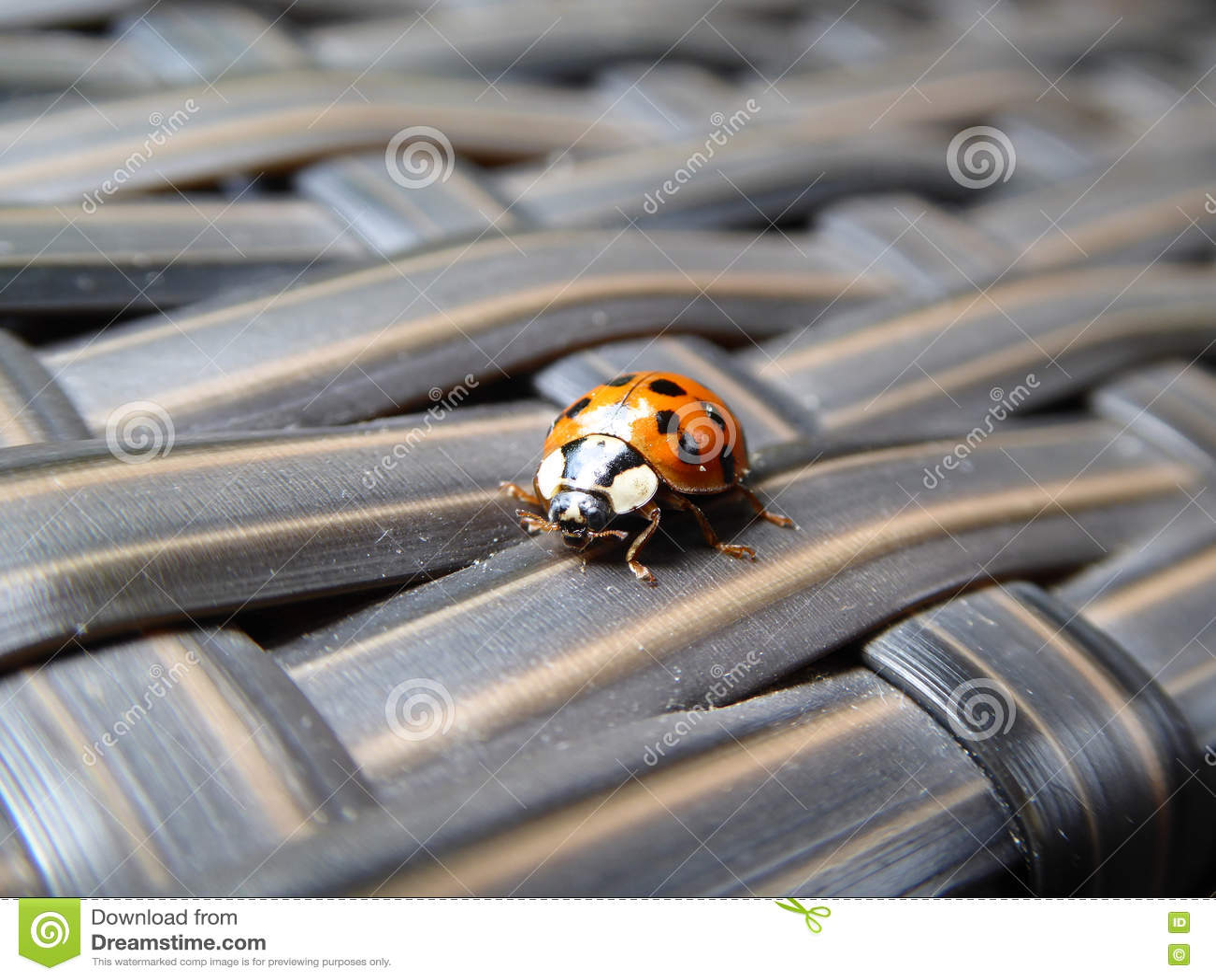 Ladybug στο μόνιππο πεζουλιών