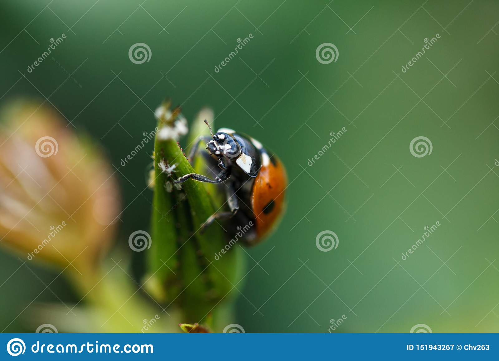 Ladybug взбираясь вверх завод